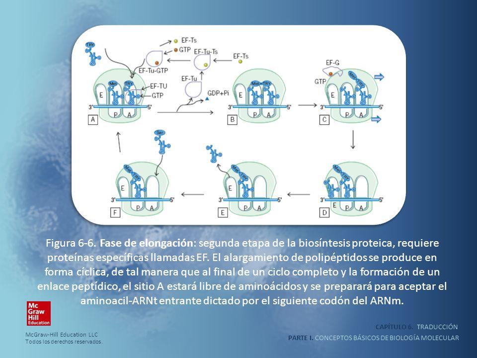Figura 6-6. Fase de elongación: segunda etapa de la biosíntesis proteica, requiere proteínas específicas llamadas EF. El alargamiento de polipéptidos se produce en forma cíclica, de tal manera que al final de un ciclo completo y la formación de un enlace peptídico, el sitio A estará libre de aminoácidos y se preparará para aceptar el aminoacil-ARNt entrante dictado por el siguiente codón del ARNm.