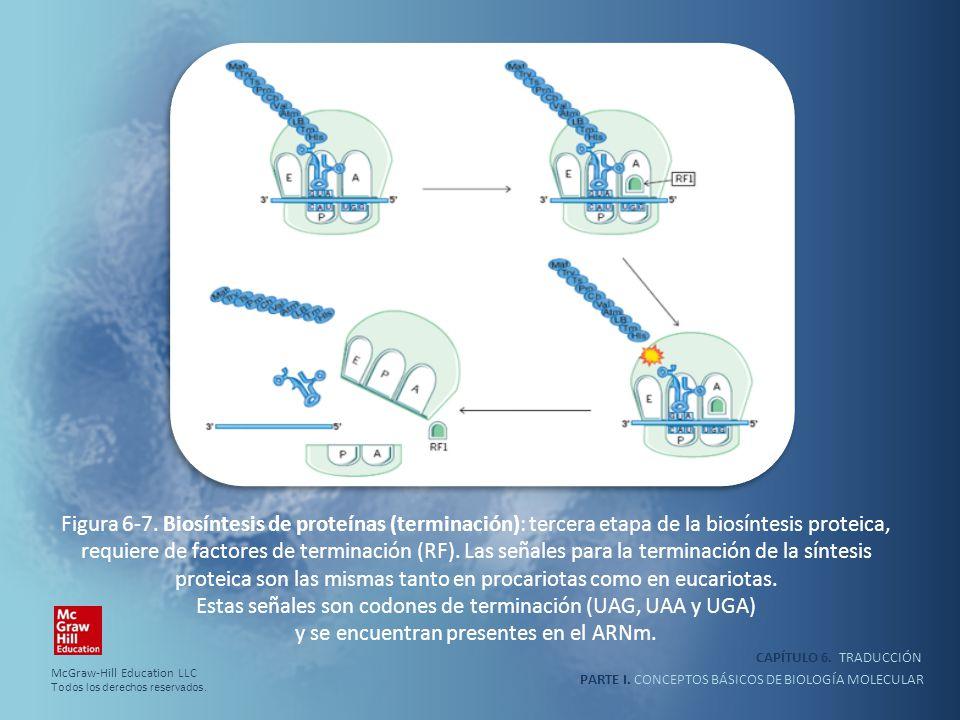 Figura 6-7. Biosíntesis de proteínas (terminación): tercera etapa de la biosíntesis proteica, requiere de factores de terminación (RF). Las señales para la terminación de la síntesis proteica son las mismas tanto en procariotas como en eucariotas. Estas señales son codones de terminación (UAG, UAA y UGA) y se encuentran presentes en el ARNm.
