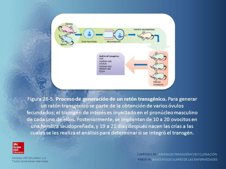Figura 28-5. Proceso de generación de un ratón transgénico
