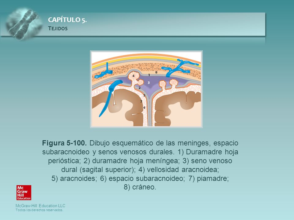 Figura 5-100. Dibujo esquemático de las meninges, espacio subaracnoideo y senos venosos durales.