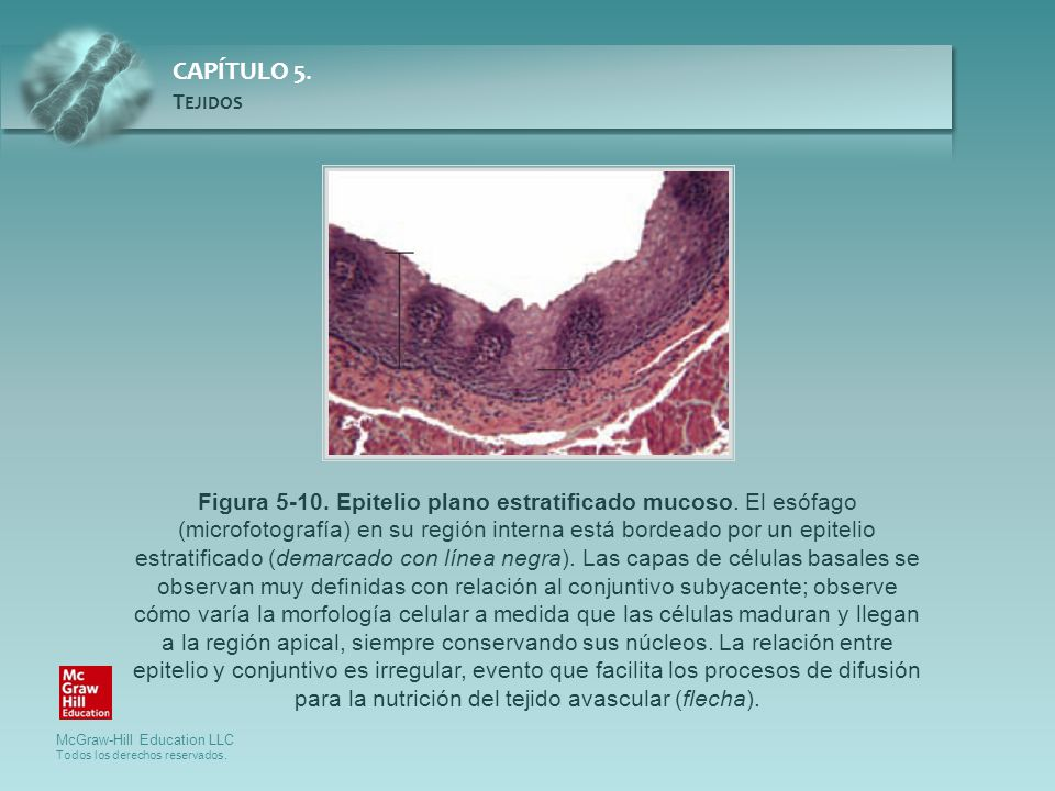 Figura 5-10. Epitelio plano estratificado mucoso