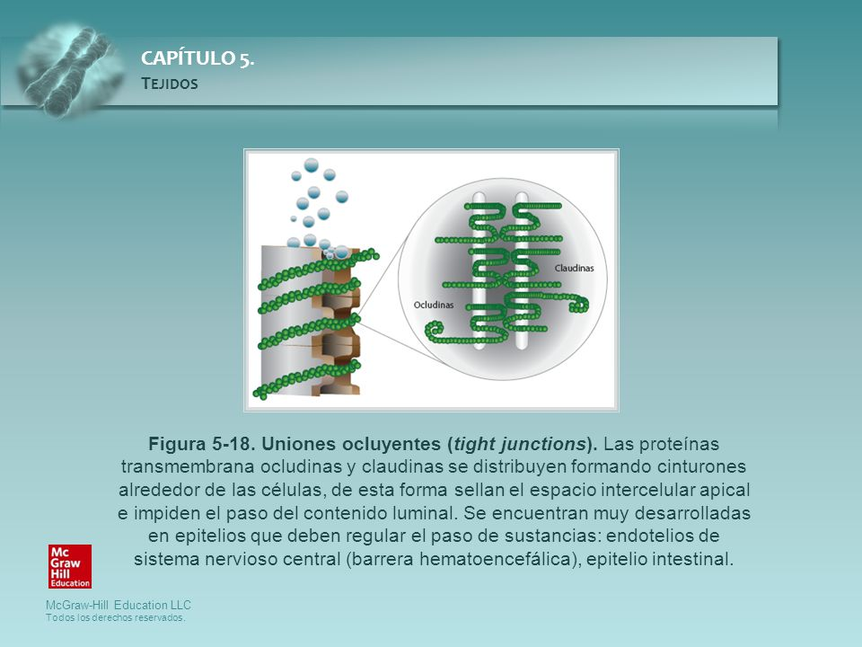 Figura 5-18. Uniones ocluyentes (tight junctions)