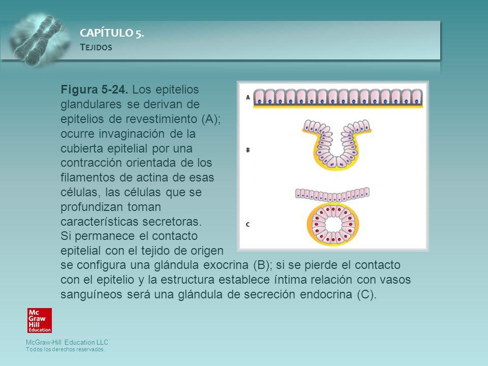 Figura 5-24. Los epitelios glandulares se derivan de epitelios de revestimiento (A); ocurre invaginación de la cubierta epitelial por una contracción orientada de los filamentos de actina de esas células, las células que se profundizan toman características secretoras.