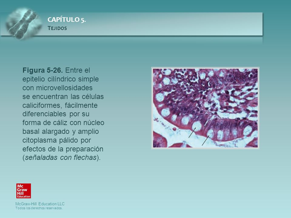 Figura 5-26. Entre el epitelio cilíndrico simple con microvellosidades