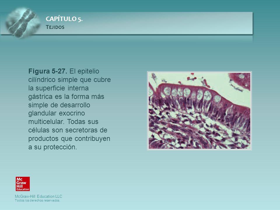 Figura 5-27. El epitelio cilíndrico simple que cubre la superficie interna gástrica es la forma más simple de desarrollo glandular exocrino