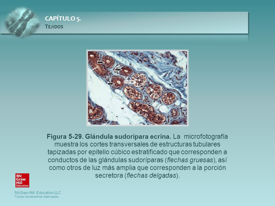 Figura 5-29. Glándula sudorípara ecrina