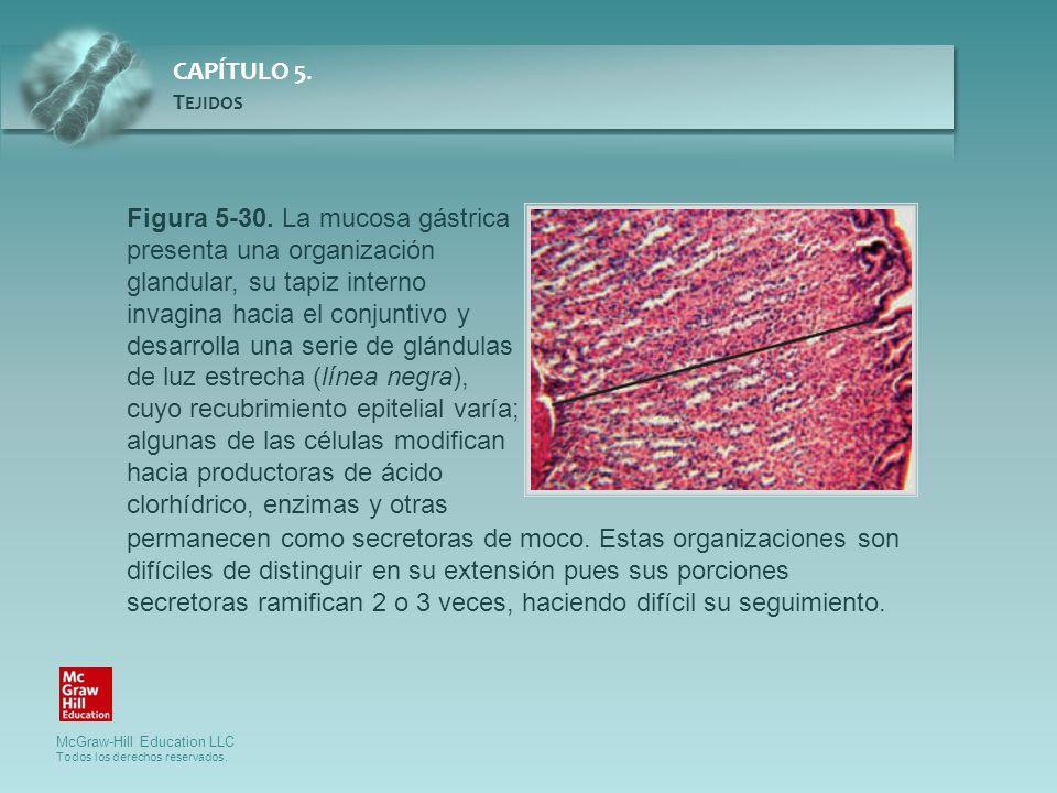 Figura 5-30. La mucosa gástrica presenta una organización