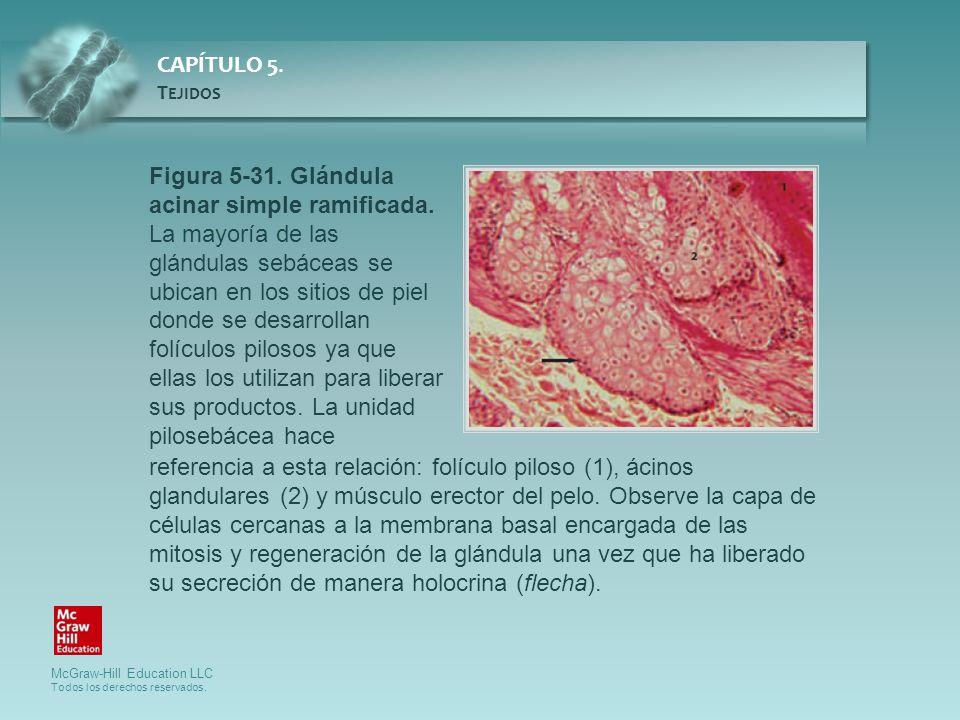 Figura 5-31. Glándula acinar simple ramificada