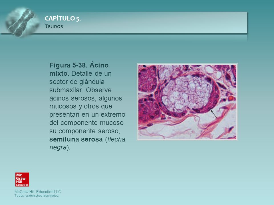 Figura 5-38. Ácino mixto. Detalle de un sector de glándula submaxilar