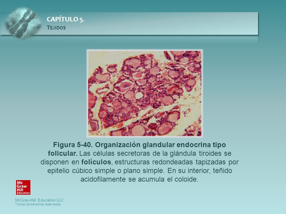 Figura 5-40. Organización glandular endocrina tipo folicular