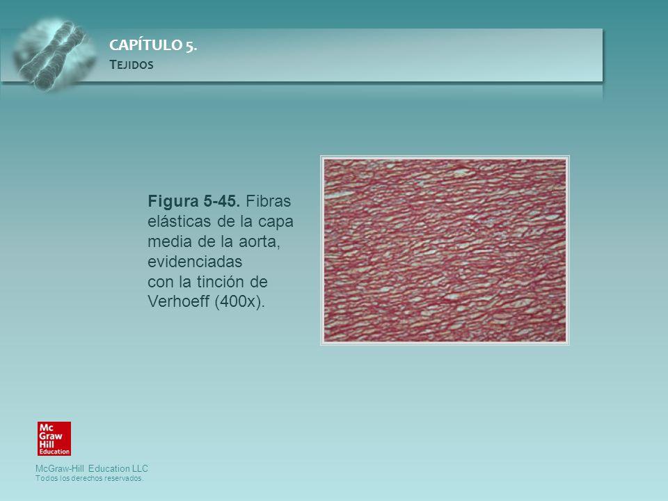 Figura 5-45. Fibras elásticas de la capa media de la aorta, evidenciadas