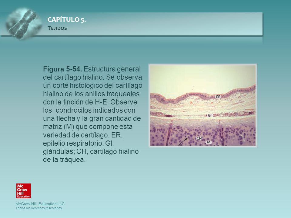 Figura 5-54. Estructura general del cartílago hialino