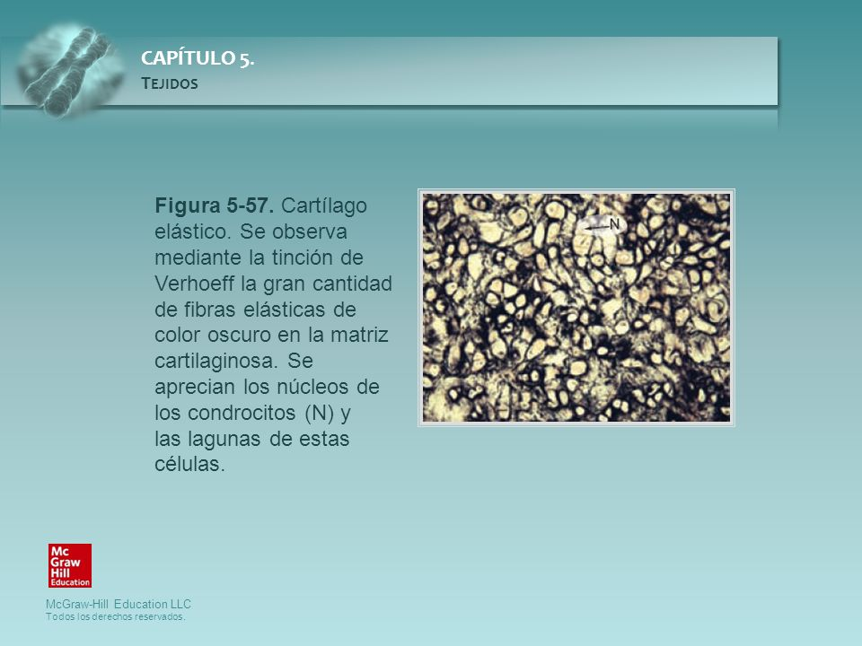 Figura 5-57. Cartílago elástico