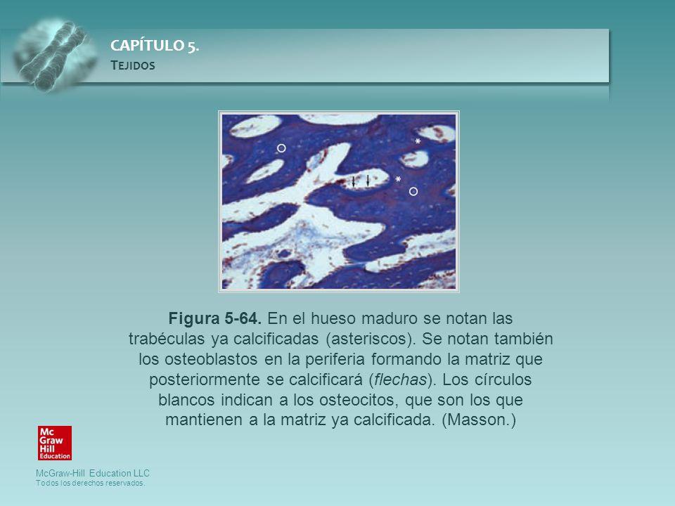 Figura 5-64. En el hueso maduro se notan las trabéculas ya calcificadas (asteriscos).
