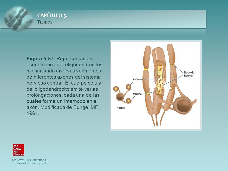 Figura 5-87. Representación esquemática de oligodendrocitos