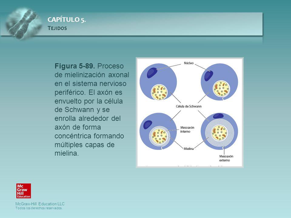 Figura 5-89. Proceso de mielinización axonal en el sistema nervioso periférico.