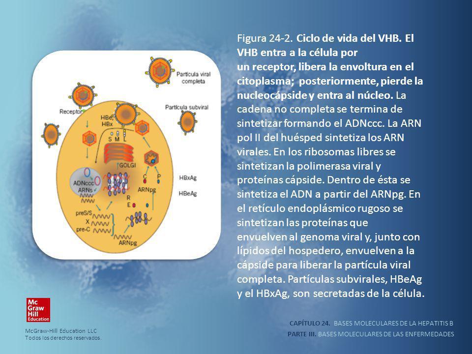Figura 24-2. Ciclo de vida del VHB. El VHB entra a la célula por