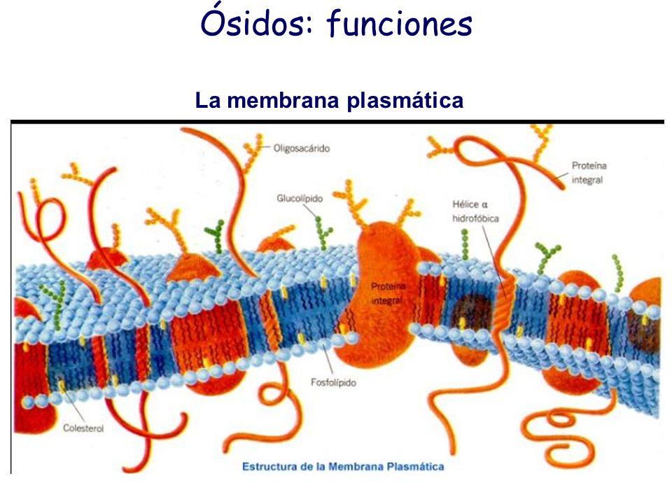 Ósidos: funciones La membrana plasmática