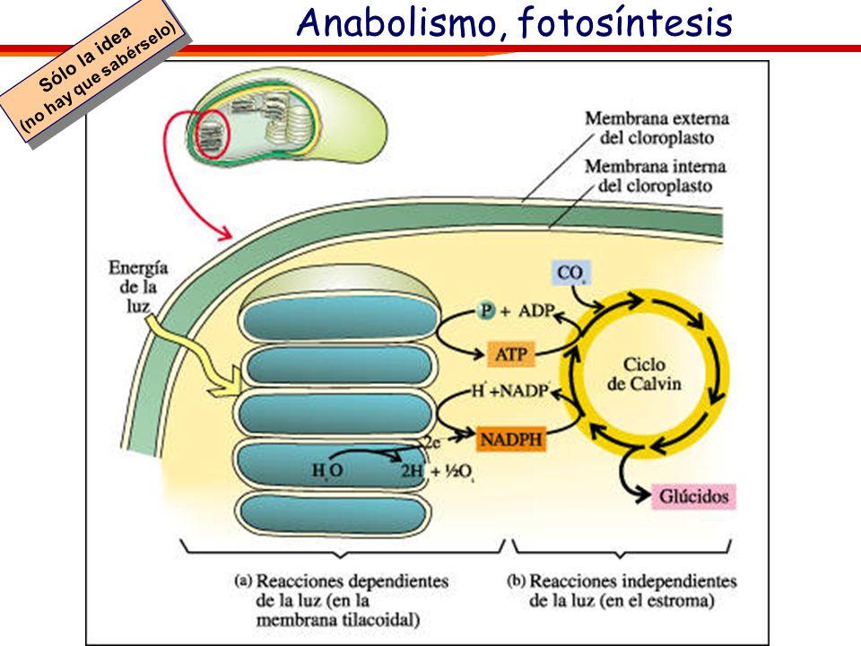Anabolismo, fotosíntesis