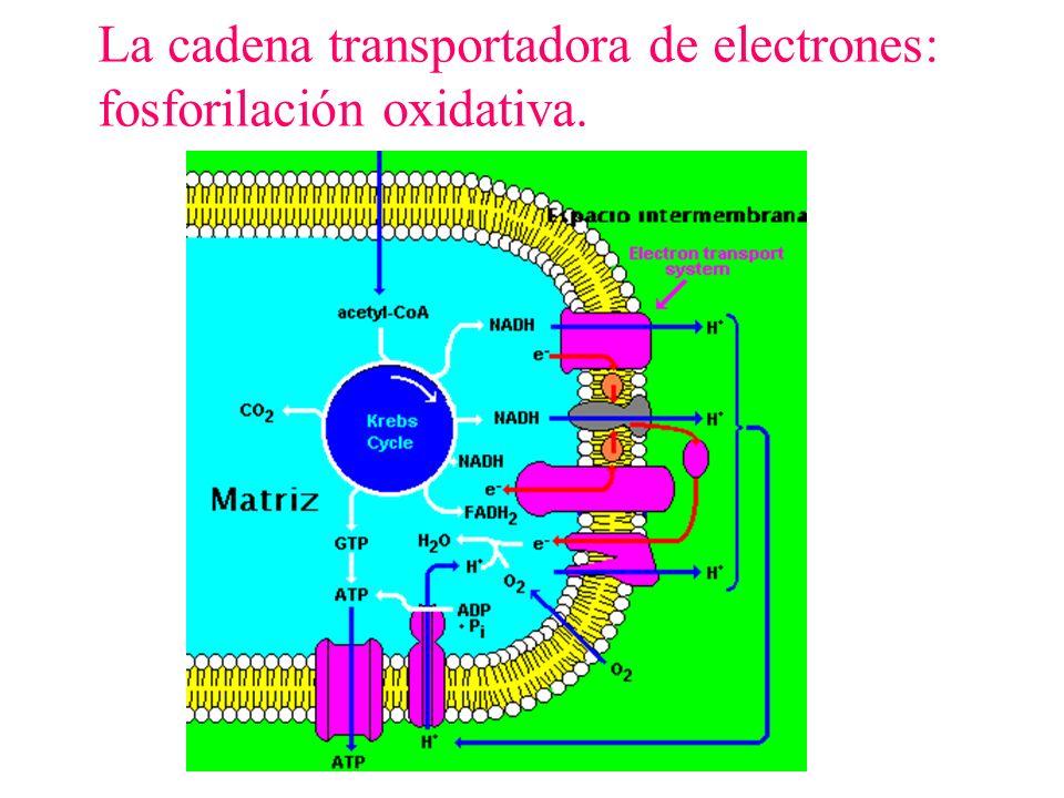 La cadena transportadora de electrones: