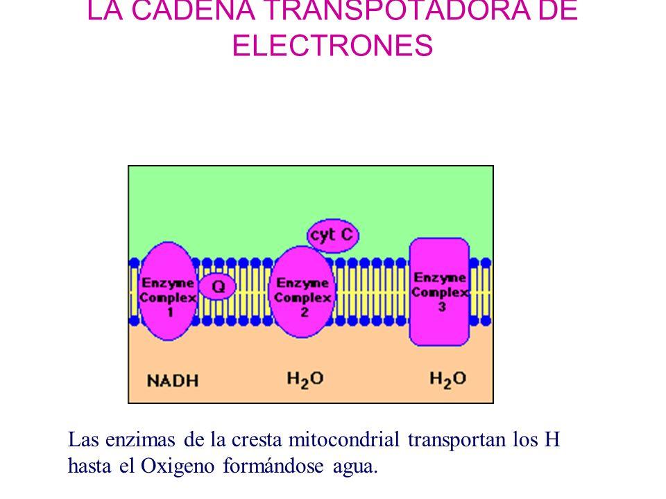LA CADENA TRANSPOTADORA DE ELECTRONES