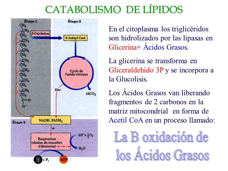 CATABOLISMO DE LÍPIDOS