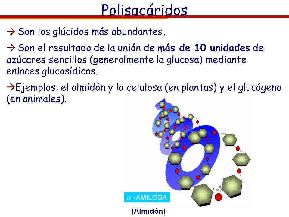 Polisacáridos Son los glúcidos más abundantes,