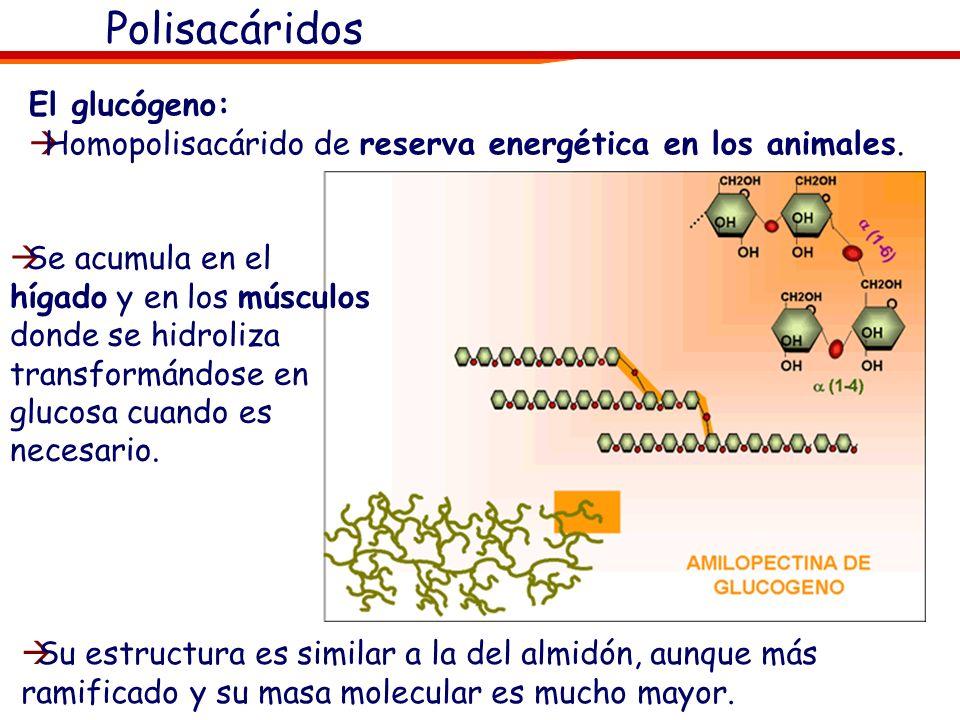 Polisacáridos El glucógeno: