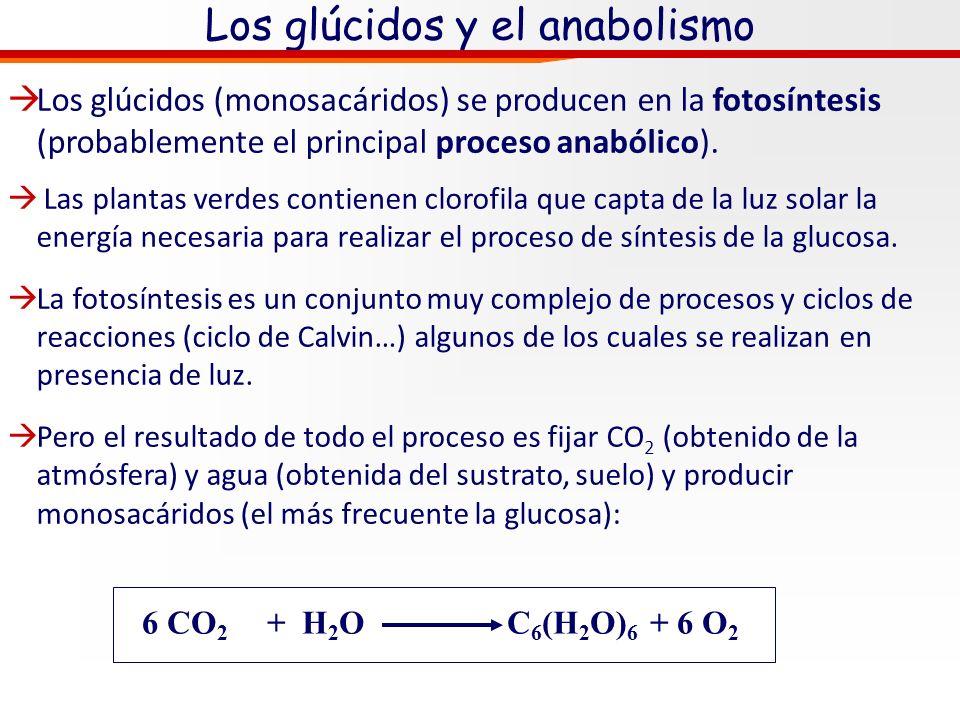 Los glúcidos y el anabolismo