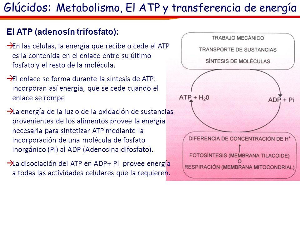 Glúcidos: Metabolismo, El ATP y transferencia de energía