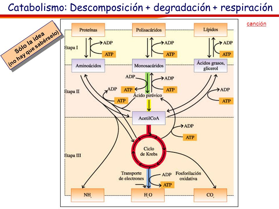 Catabolismo: Descomposición + degradación + respiración