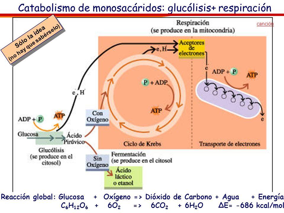 Catabolismo de monosacáridos: glucólisis+ respiración