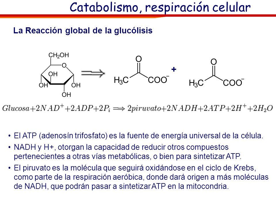Catabolismo, respiración celular