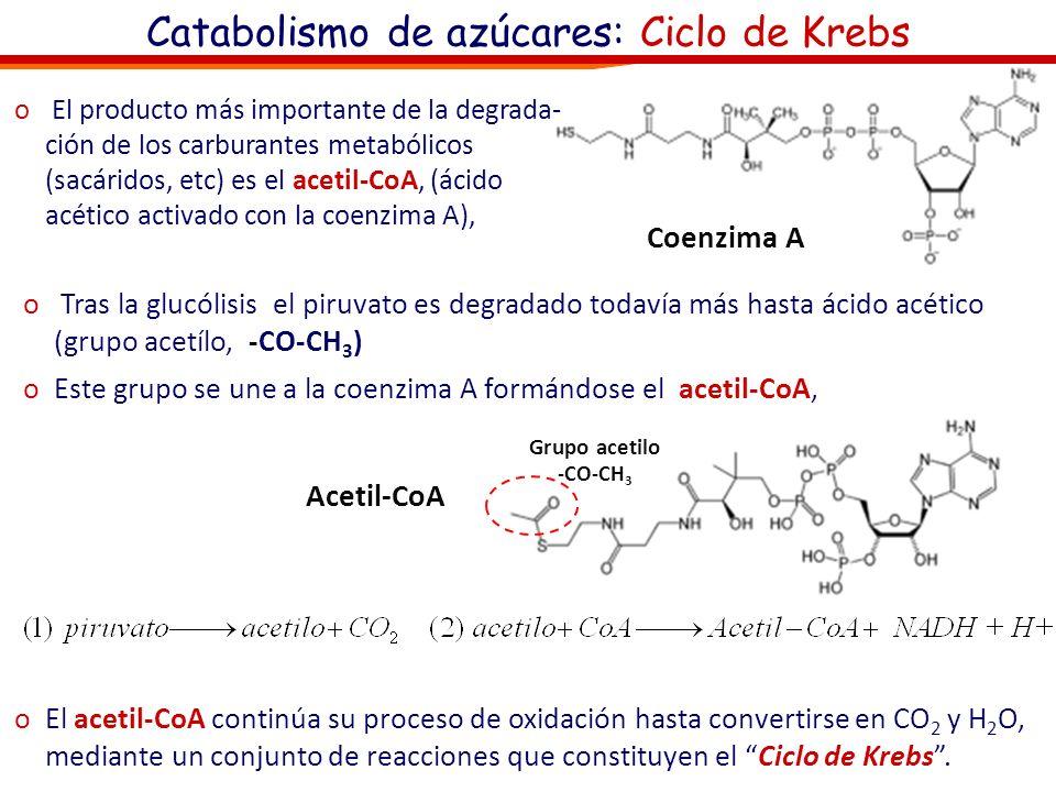 Catabolismo de azúcares: Ciclo de Krebs