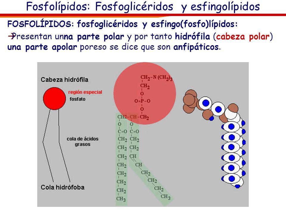 Fosfolípidos: Fosfoglicéridos y esfingolípidos