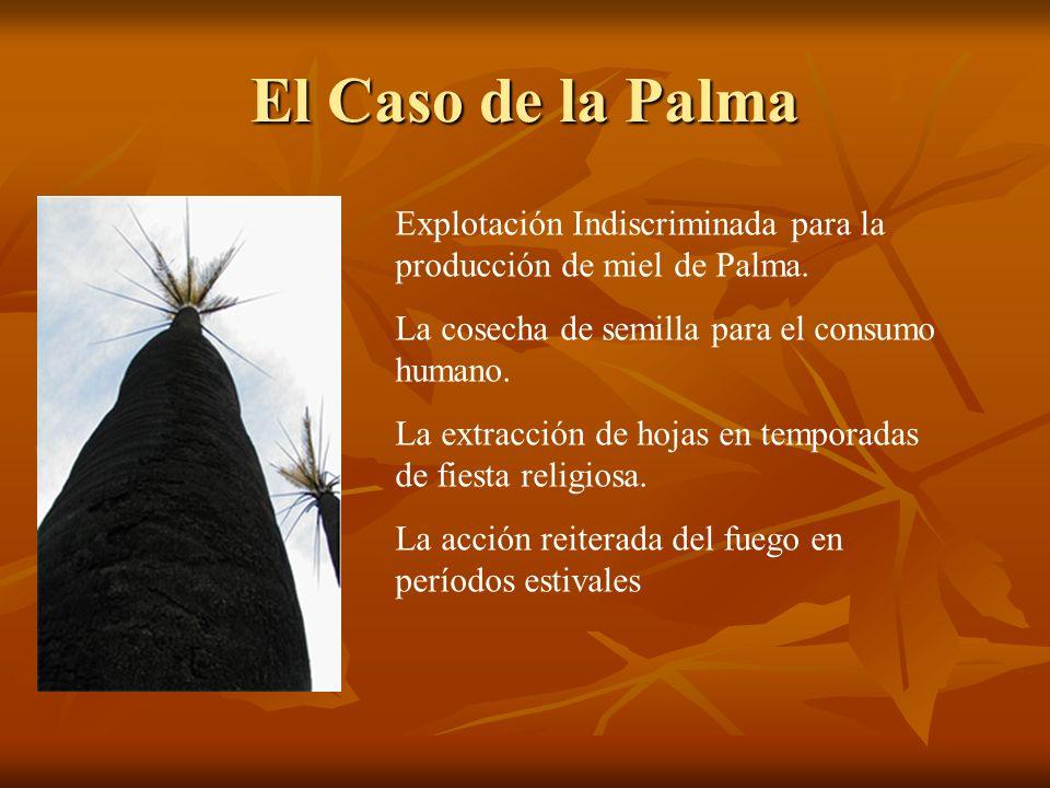 El Caso de la Palma Explotación Indiscriminada para la producción de miel de Palma. La cosecha de semilla para el consumo humano.