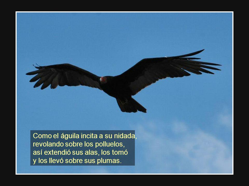 Como el águila incita a su nidada,