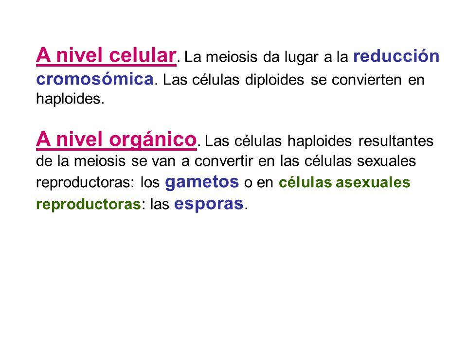 A nivel celular. La meiosis da lugar a la reducción cromosómica