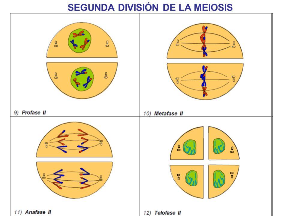 SEGUNDA DIVISIÓN DE LA MEIOSIS