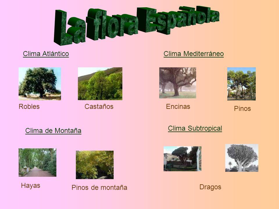 La flora Española Clima Atlántico Clima Mediterráneo Robles Castaños