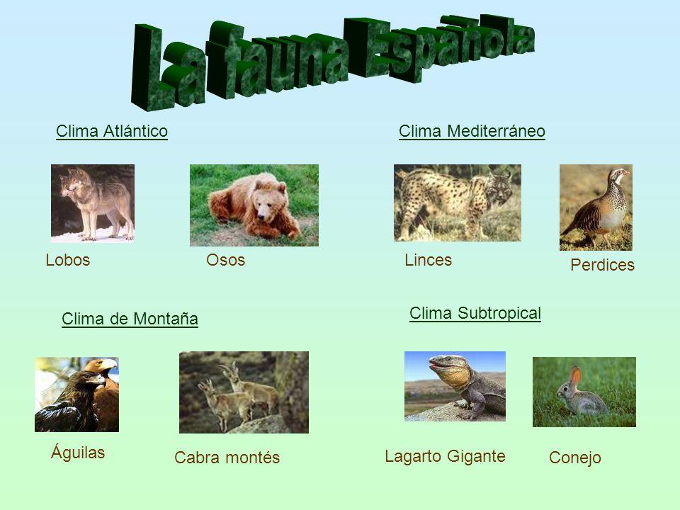 La fauna Española Clima Atlántico Clima Mediterráneo Lobos Osos Linces