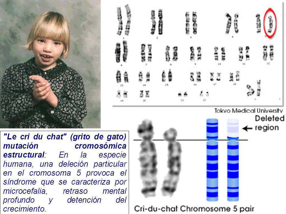 Le cri du chat (grito de gato) mutación cromosómica estructural: En la especie humana, una deleción particular en el cromosoma 5 provoca el síndrome que se caracteriza por microcefalia, retraso mental profundo y detención del crecimiento.