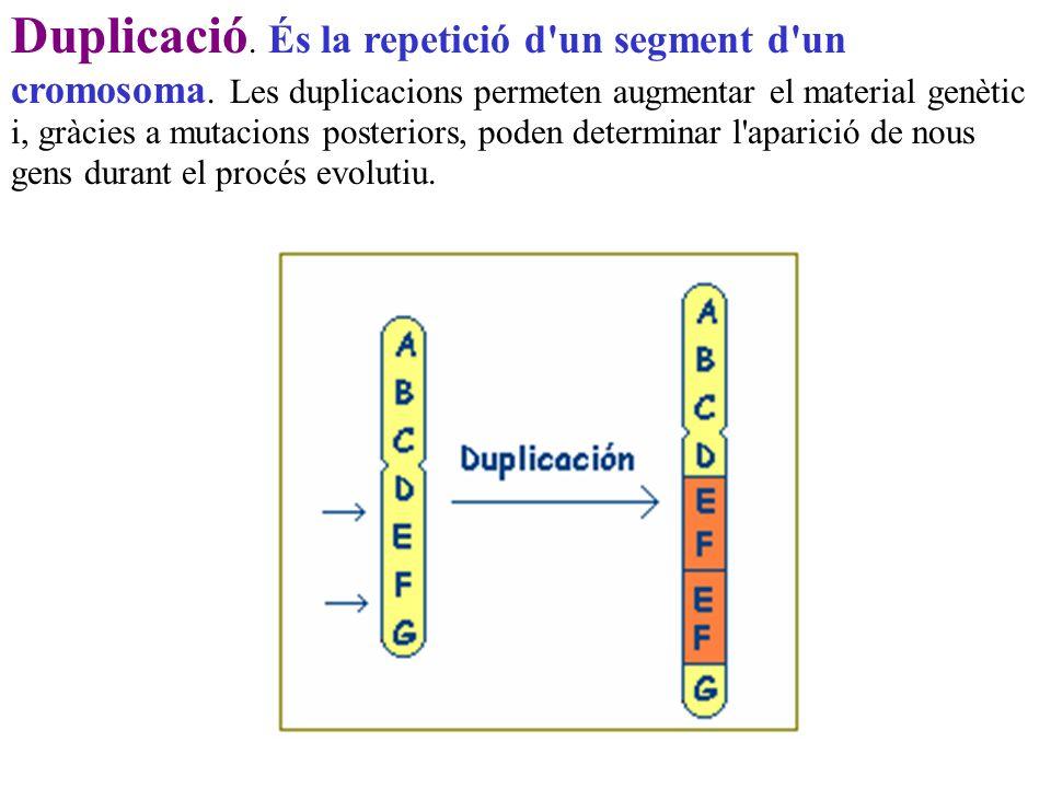 Duplicació. És la repetició d un segment d un cromosoma