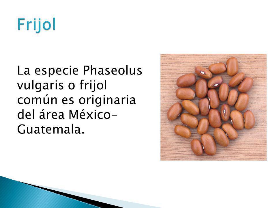 Frijol La especie Phaseolus vulgaris o frijol común es originaria del área México- Guatemala.