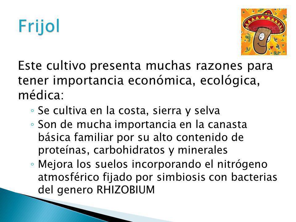 Frijol Este cultivo presenta muchas razones para tener importancia económica, ecológica, médica: Se cultiva en la costa, sierra y selva.