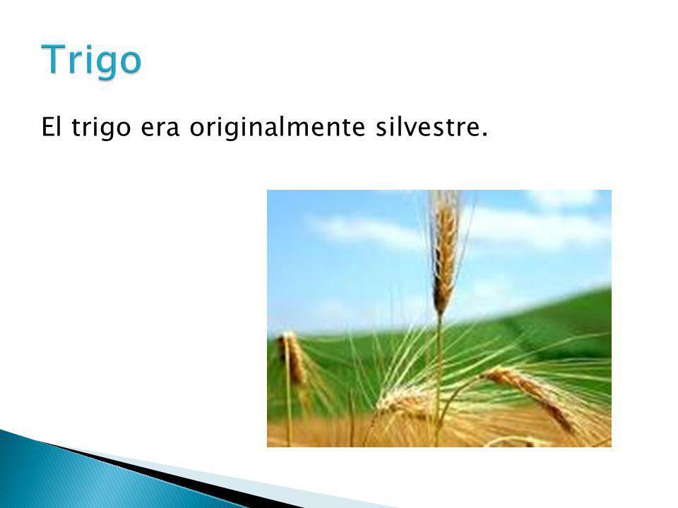 Trigo El trigo era originalmente silvestre.