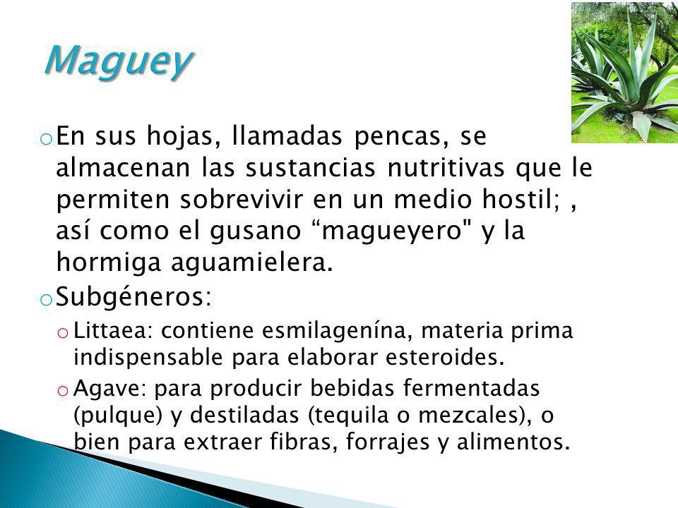 Maguey