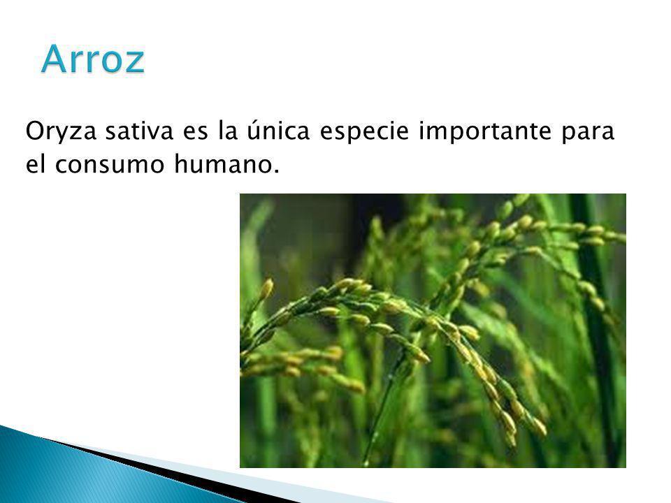 Arroz Oryza sativa es la única especie importante para el consumo humano.