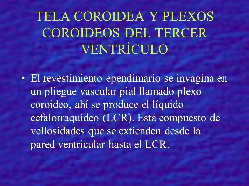 TELA COROIDEA Y PLEXOS COROIDEOS DEL TERCER VENTRÍCULO