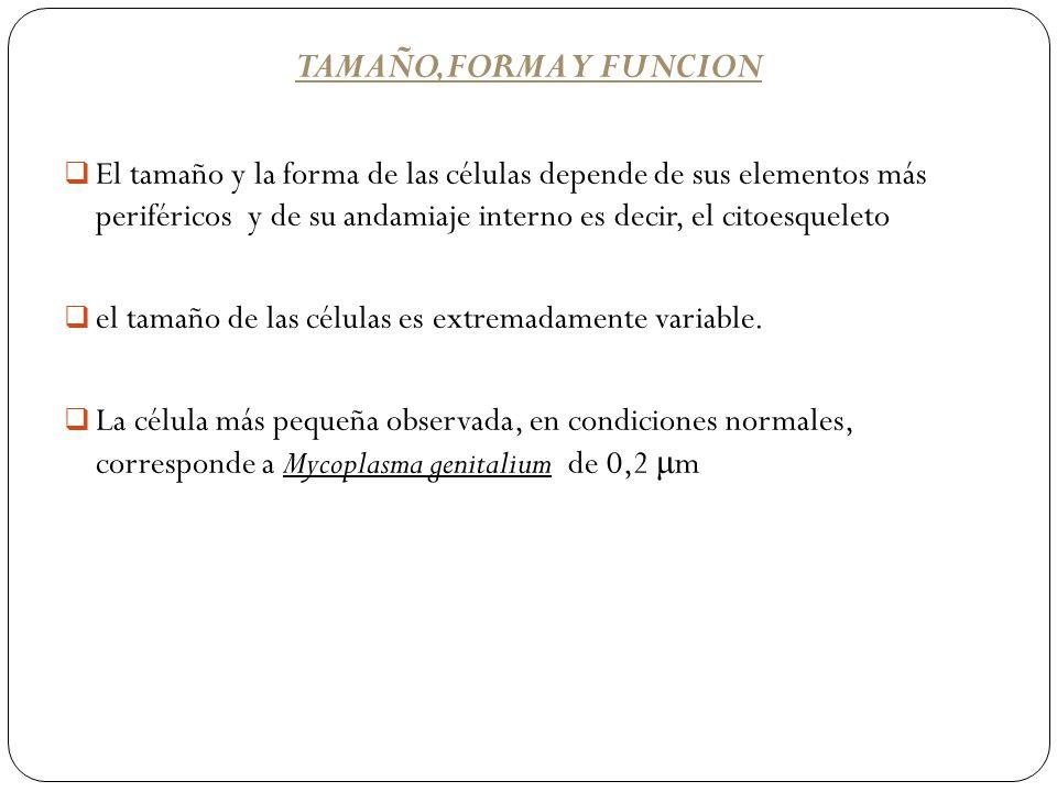 TAMAÑO,FORMA Y FUNCION